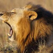 Lion rugit